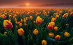 Обои Поле тюльпанов на рассвете. Фотограф Albert Dros