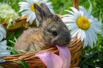 Обои Кролик в корзине с ромашками. Фотограф Ivan Anisimov
