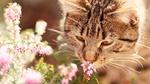 Обои Кот нюхает цветок вереска