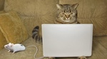 Обои Кот сидит за ноутбуком, к которому подсоединена живая мышка