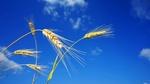 Обои Колоски пшеницы на фоне голубого неба