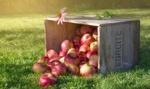 Обои Цветок эхинацеи на ящике с яблоками на траве