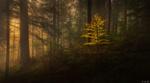 Обои Осенний лес в тумане, фотограф Niko Benas