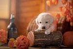 Обои Работа-Осенний натюрморт / Белый щенок на полене среди стеклянной бутылки, клубка, тыквы на столе, в комнате, фотограф Светлана Писарева