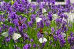 Обои Бабочки на цветущей лаванде, by Maria