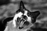 Обои Кот с открытой пастью