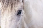 Обои Часть головы белой лошади с глазом