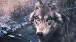 Обои Волк на фоне зимнего леса