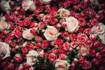 Обои Огромный букет из кремовых и ярко розовых роз