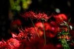 Обои Красный ликорис на темном фоне