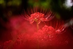 Обои Красный ликорис (паучья лилия) на темном фоне