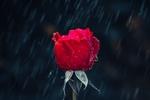 Обои Красная роза под дождем
