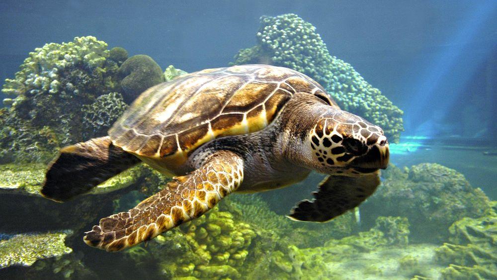 Обои для рабочего стола Вода природа животные черепахи коралловый риф море