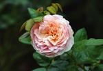 Обои Розовая роза на темном фоне