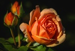 Обои Оранжевая роза с бутонами на темном фоне