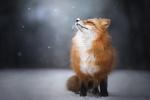 Обои Рыжая лиса на снегу. Фотограф Alicja ZmysЕ'owska