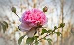 Обои Розовая роза с бутонами, by Heike