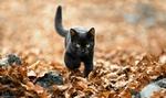 Обои Черный котенок идет по осенней листве, фотограф Полюшко Сергей