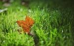 Обои Желтый кленовый листочек лежит в зеленой траве