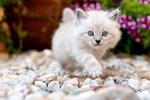 Обои Белый голубоглазый котенок