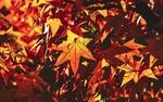 Обои Яркие осенние листья