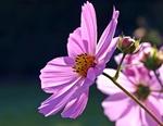 Обои Розовая космея в солнечном свете