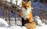 Обои Лисичка сидит на снегу и смотрит в камеру