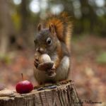 Обои Белка с желудем на пне с яблоком. Фотограф Andre Villeneuve