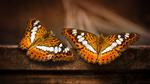 Обои Две бабочки крупным планом, фотограф Sunil