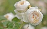 Обои Белые розы на размытом фоне