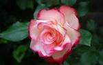 Обои Белорозовая роза с листиками