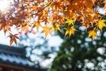Обои Желтые листья клена на фоне неба, Япония / Japan, фотограф Natthapon Ngamnithiporn