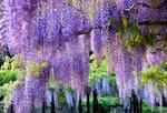 Обои Сад с цветущей сиреневой глицинией, Japan / Япония