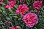 Обои Розовые гвоздики на размытом фоне, by Angeles Balaguer