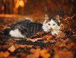 Обои Кошка лежит на осенней листве