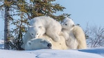 Обои Медведица с медвежатами на снегу