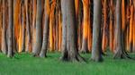 Обои Деревья с оранжевой от солнца корой