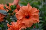 Обои Цветы оранжевого гибискуса