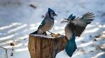 Обои Две голубые сойки трапезничают на пеньке зимой