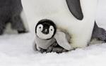 Обои Маленький пингвиненок греется в ногах у матери