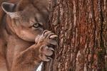 Обои Канадская пума точит когти о ствол дерева, фотограф Колесников Михаил
