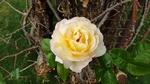 Обои Чайная роза, крупный план, by MIRAEBACCI