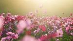 Обои Цветы космеи на размытом фоне