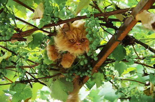 Рыжий кот среди веток винограда