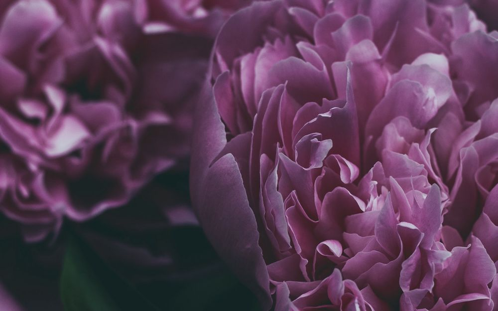 картинки на рабочий стол пионы лиловые