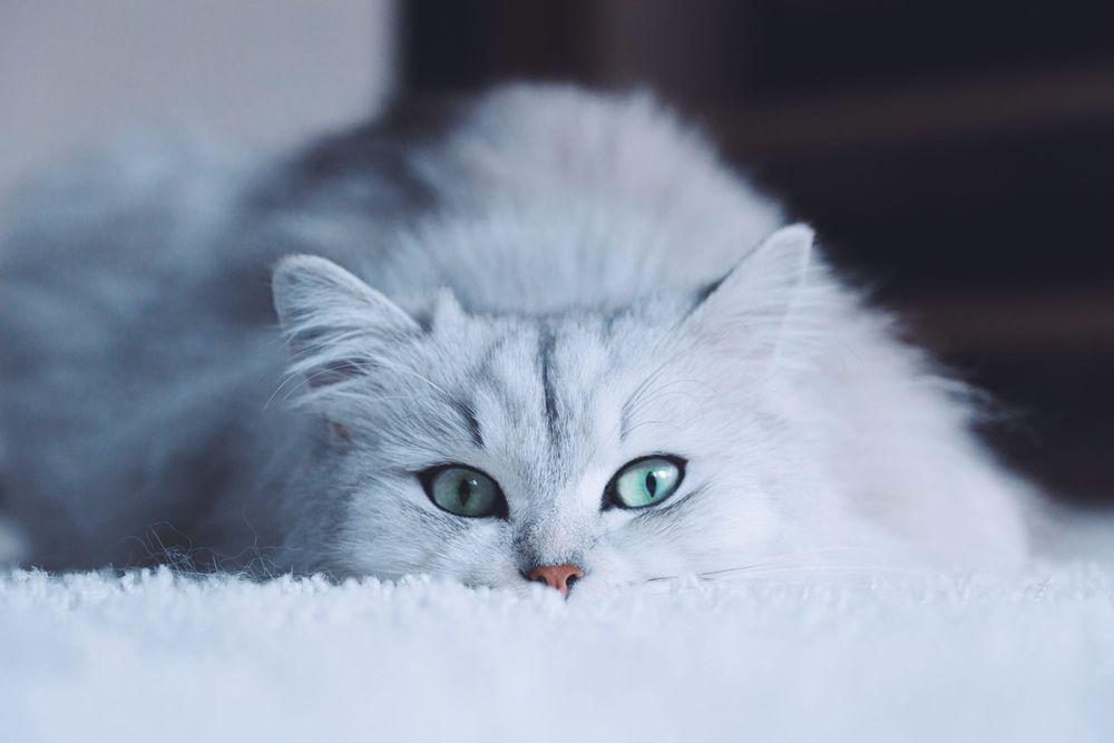 Обои для рабочего стола Серая кошка с серыми глазами, by Patricio DellOrto