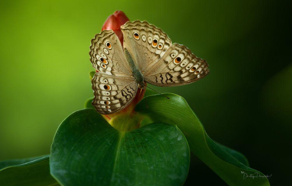 Обои для рабочего стола Бабочка сидит на цветке, фотограф Дмитрий Посевич