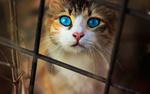 Обои Красивый голубоглазый кот смотрит через решетку