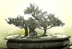 Обои Покрытые инеем деревца бонсай туманным зимним утром, by Margaret Van de Pitte