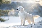 Обои Белый лабрадор стоит на фоне природы морозным днем, фотограф Светлана Писарева
